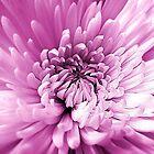 Chrysanthemum Pink by SexyEyes69