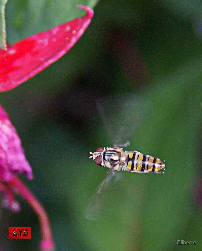 Hovering Drone Fly - Eristalis tenax  by Gilberte