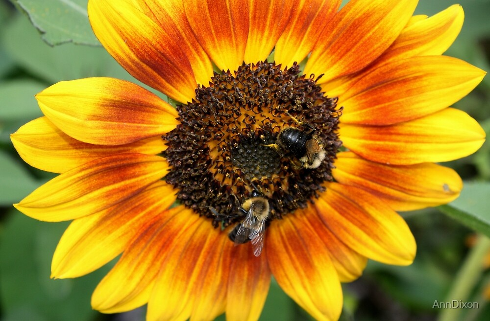 Bees and Sunflower by AnnDixon