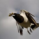 Butcherbird in flight by Newsworthy