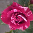 Pink Rose - Textured by elatepictures