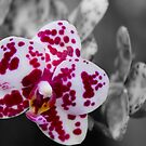 Exotic White Orchid With Purple Spots  by daphsam