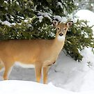White-Tailed Deer by vette