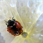 Ladybug in the rain by Katariina Lonnakko