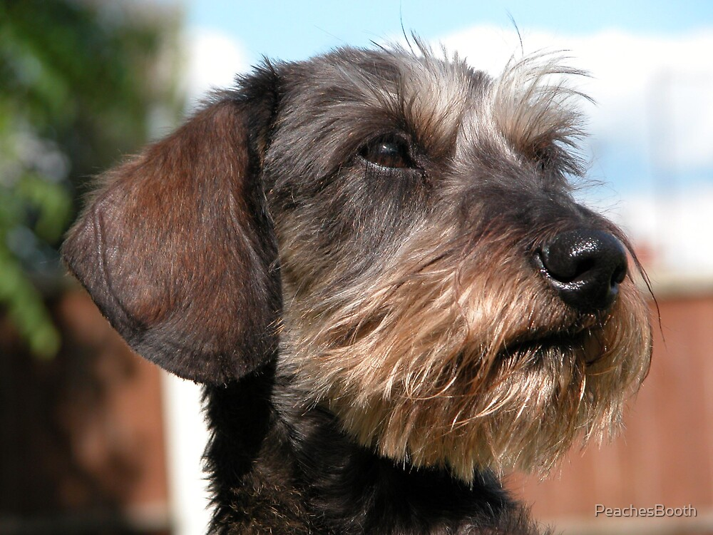 Miniature Wire Haired Dachshund\