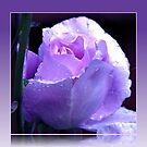 Dreamy Blue Moon Rose Beauty in Reflection Frame von BlueMoonRose