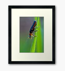Soldier Beetle Framed Print