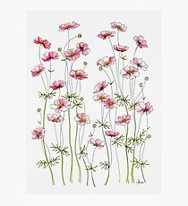 Pink Cosmos Flowers Photographic Print