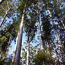 Kauri Forest by Tony Foster