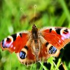 Peacock Butterfly by Rosemariesw