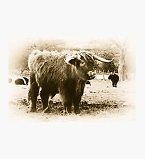 Highland Coo Photographic Print