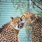 Cheetah Love by John Davies