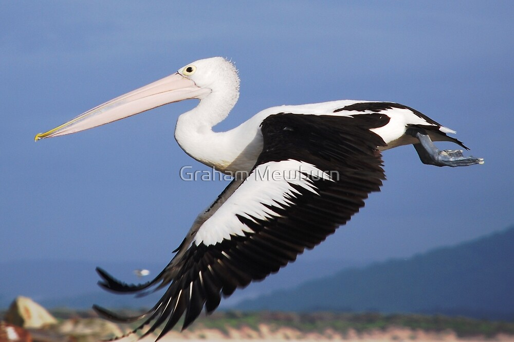 Pelican taking off by Graham Mewburn