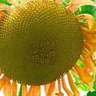 Super Sunflower by John Butler