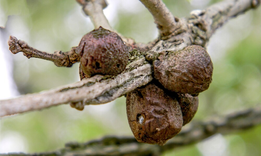 Wasp Gall: Old Enough to Leave Home by circa24