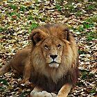 Lion by Ben Hughes