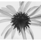 Soft BW Echinacea Flower  by Gypsykiss