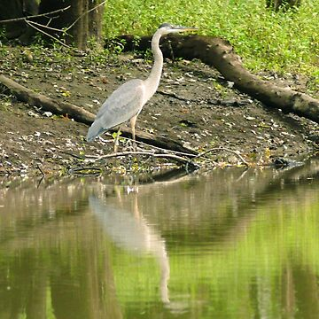 #835  Egret On The Banks Of The Passaic River by MyInnereyeMike