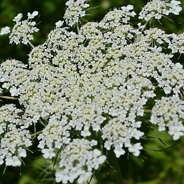 Queen Anne's Lace (Daucus carota) from John Boyd Thacher State Park  by Gold-Coin