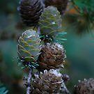Young pine cones by Paul Morley