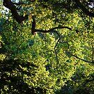 Sunlit Trees by Paul Morley