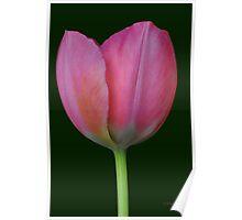 single classic tulipa-pinkimpressions Poster