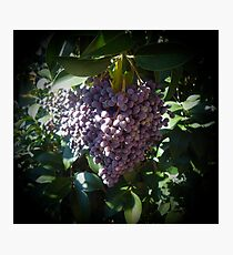 Bunch Of Purple Berries  Photographic Print