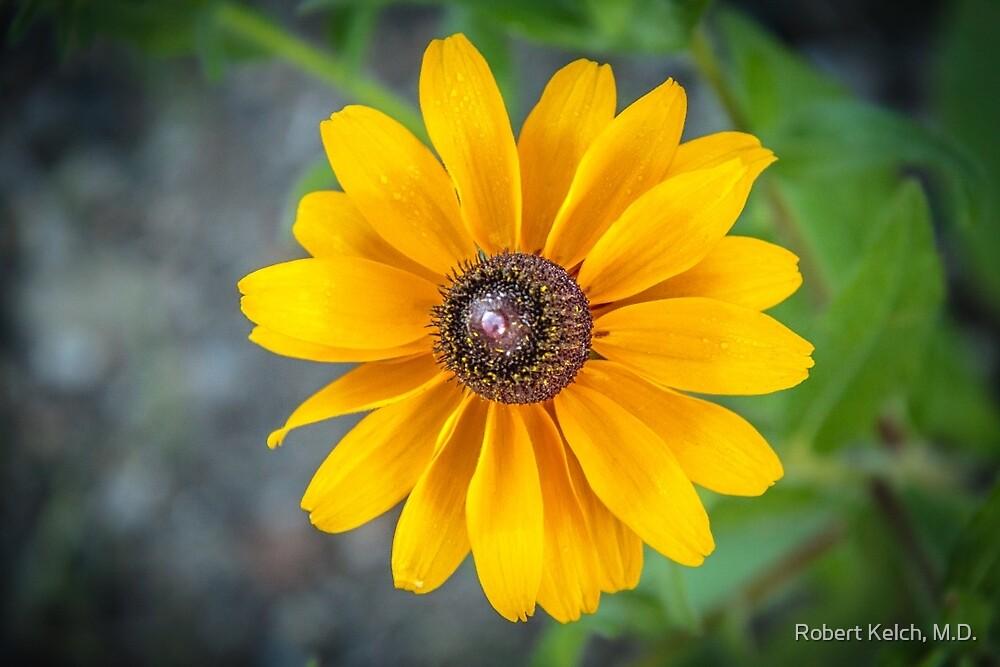 Blackeyed Susan at Argo Cascades by Robert Kelch, M.D.