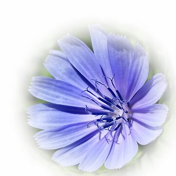 purple blue chicory by feiermar