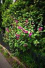 Hollyhock fence  by steppeland