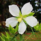 White Swamp Hibiscus by Cynthia48