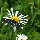 Daisy and butterfly by Ana Belaj