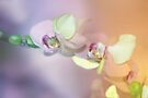 Pastel Orchids by Elaine  Manley