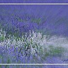 Lavender Blue by jules572