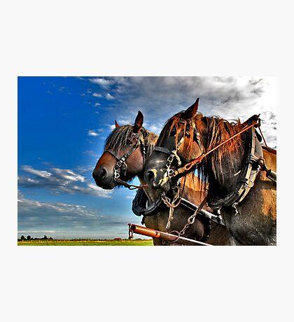 Belgian Horses Photographic Print