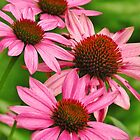 Coneflowers in the Pink  by lorilee