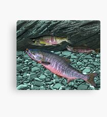 Chum Salmon Canvas Print
