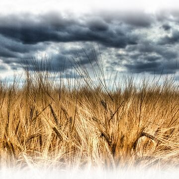 Wheat by Nigdaw