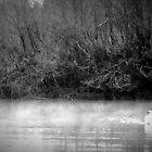 A lone swan defends her lake by widdy170