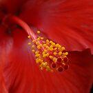Hibiscus Macro by Joseph Rieg