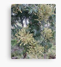 Acacia Canvas Print