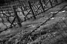 Barbed Vines by Jenni Tanner