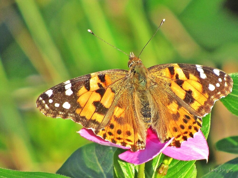Painted Lady on Rosy Periwinkle by Lee Jones