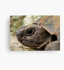 Close Up Side Portrait Of A Turkish Tortoise Canvas Print