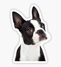 Boston Terrior Sticker