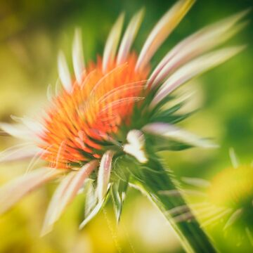 Coneflower 3 by wekegene