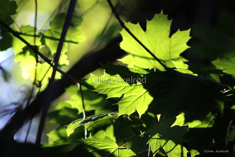 Morning Light in the Maple Tree by Gilda Axelrod
