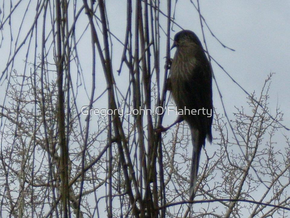 Wattle Bird by Gregory John O'Flaherty