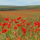 South Downs Poppies by Irina Chuckowree