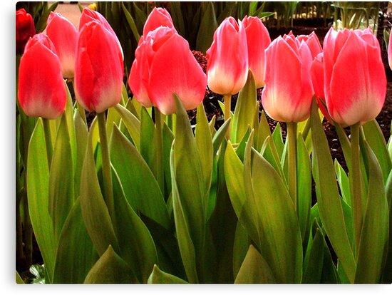 Tulips On a Row by ienemien